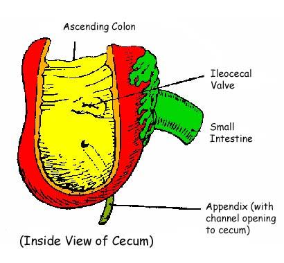 Appendix Pain Symptoms Causes Location And Treatment