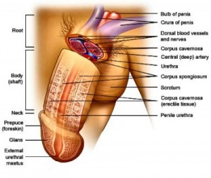 Penis Anatomy and Structure