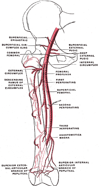Femoral Artery Anatomy Location Blockage Bypass And Pain