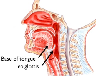 epiglottis – definition, function, location, pictures and problems, Sphenoid