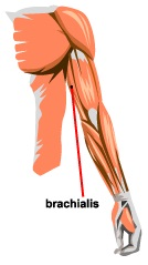 Brachialis Pictures