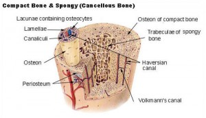 cortical bone pictures