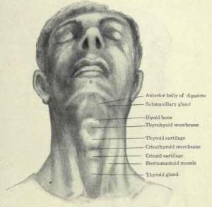 photos of Cricoid Cartilage