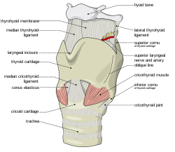Cricoid Cartilage images