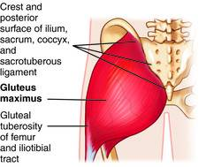 Gluteus Maximus Muscle Images