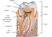 Human tooth diagram