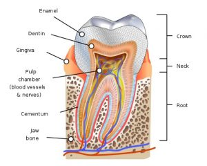 Are Teeth Bones - Human tooth diagram